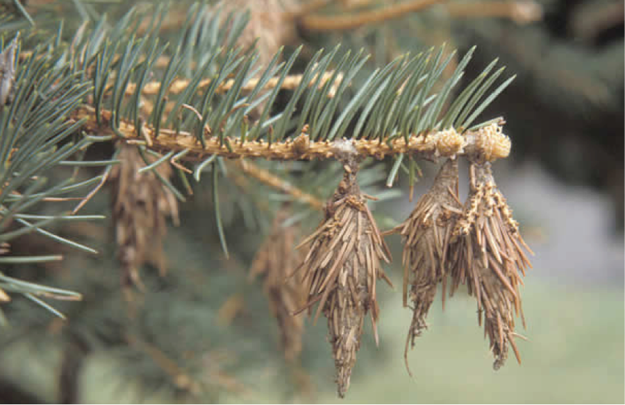 Controlling Bagworms on Your Evergreen Trees and Shrubs