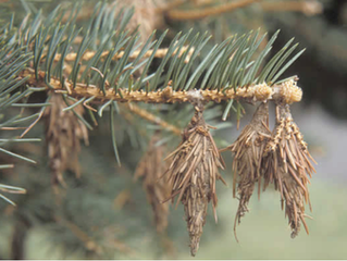 Controlling Bagworms on Your Evergreen Trees and Shrubs.