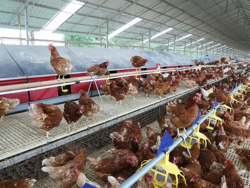 Peternakan dengan Konsep Animal Welfare