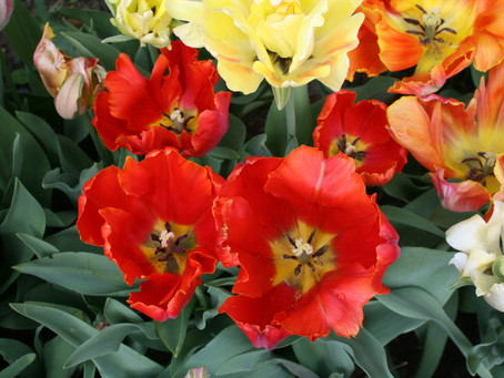 About Tulips