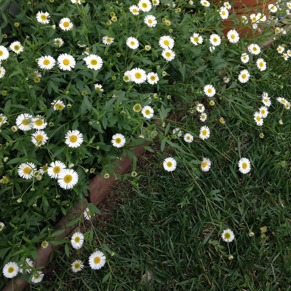 white flowers Erigeron