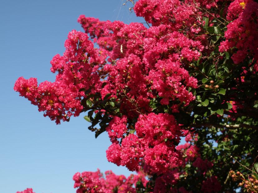 crepe myrtle tree in bloom