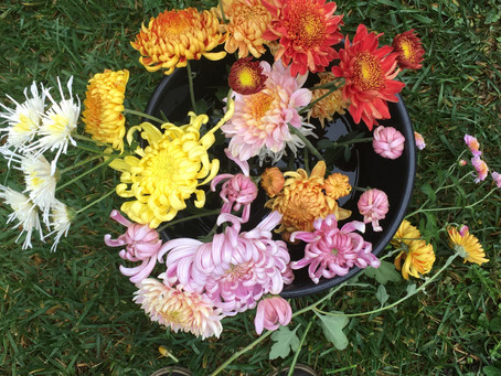 Start Early for Beautiful Chrysanthemums