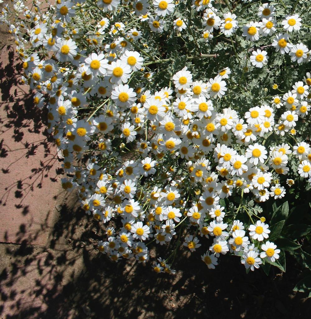 white flowers Tanacetum