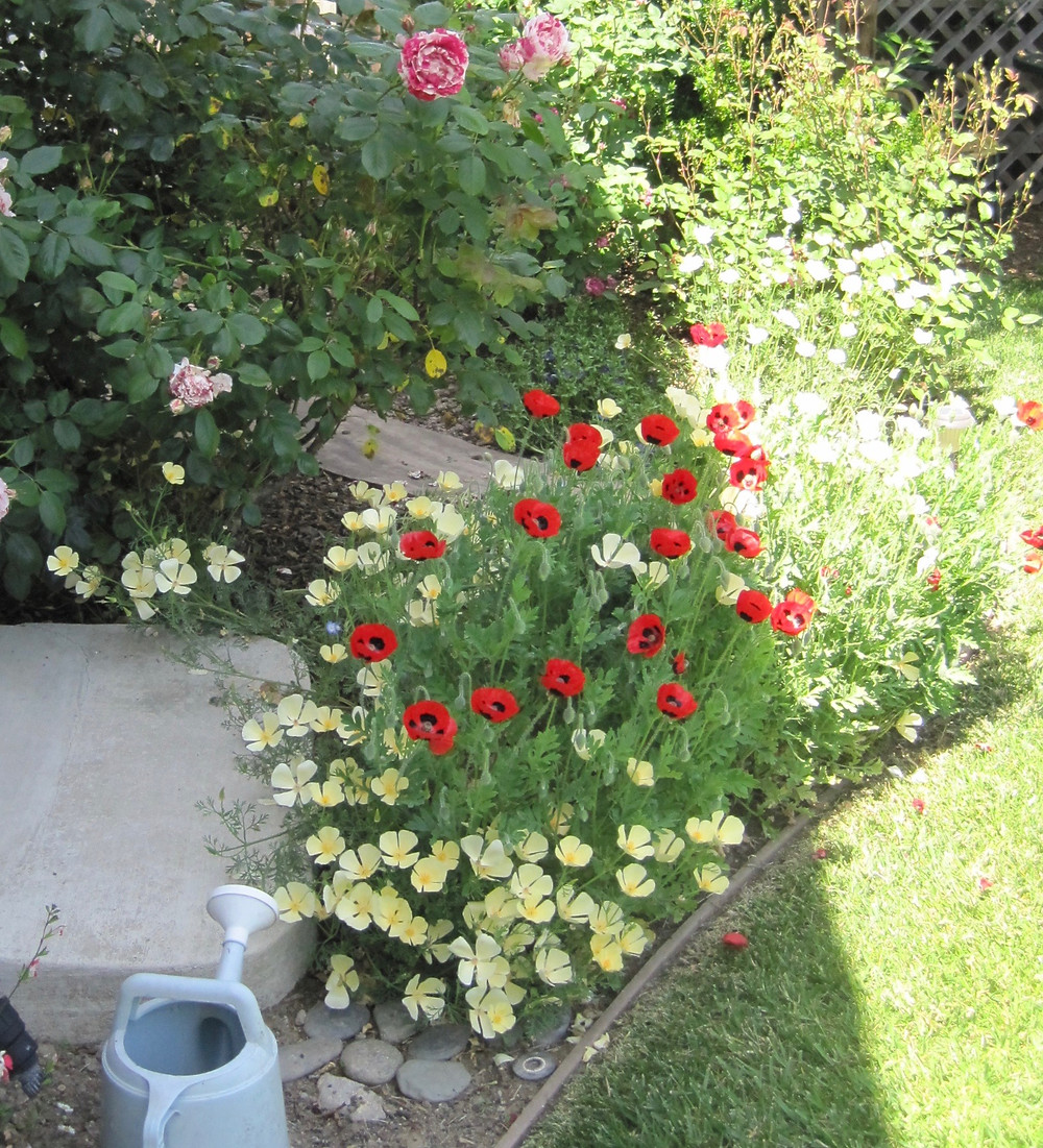 poppies in a garden