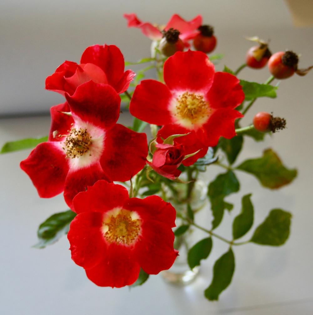 red rose, wild rose form