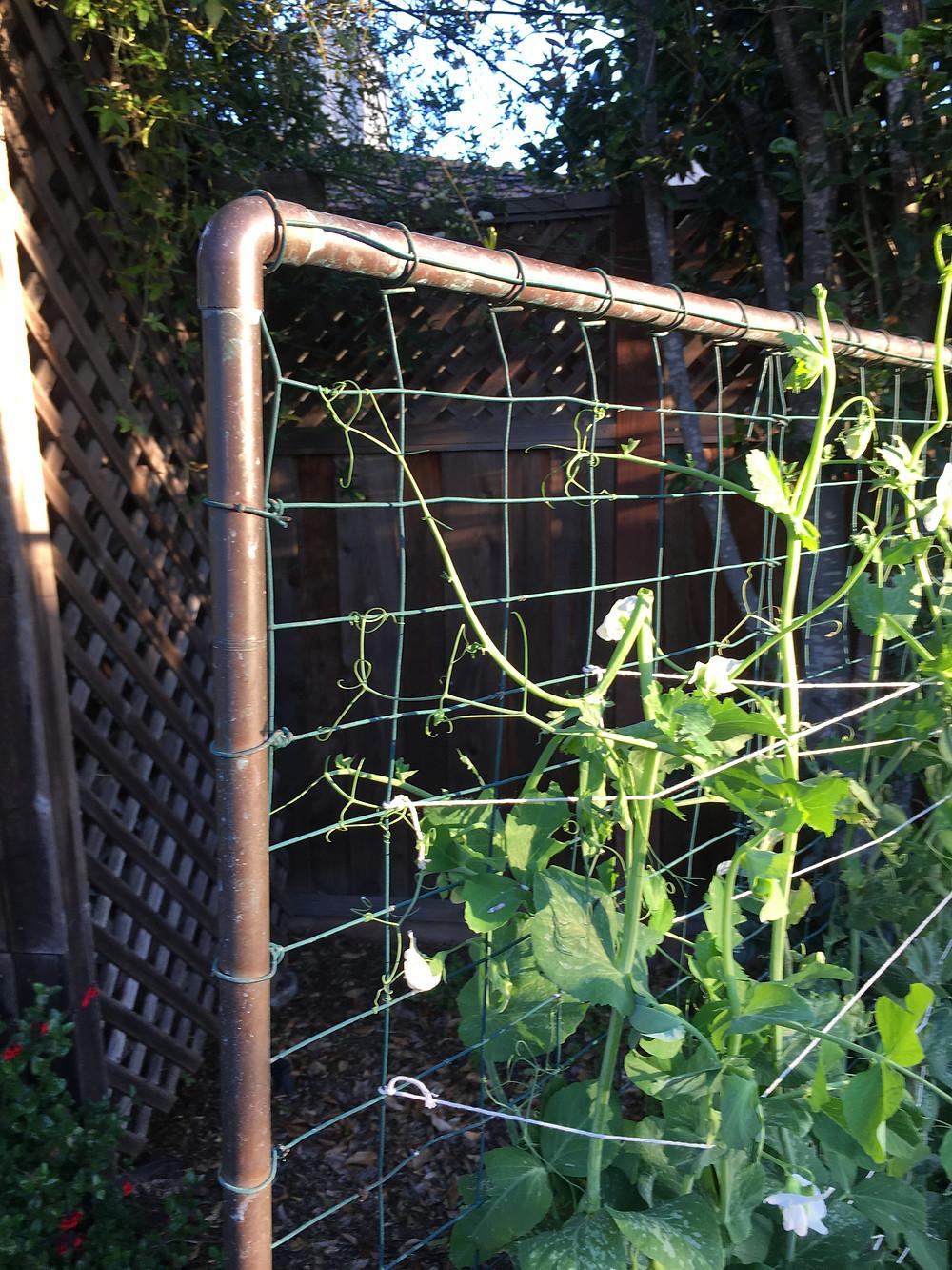 trellis for sweet peas