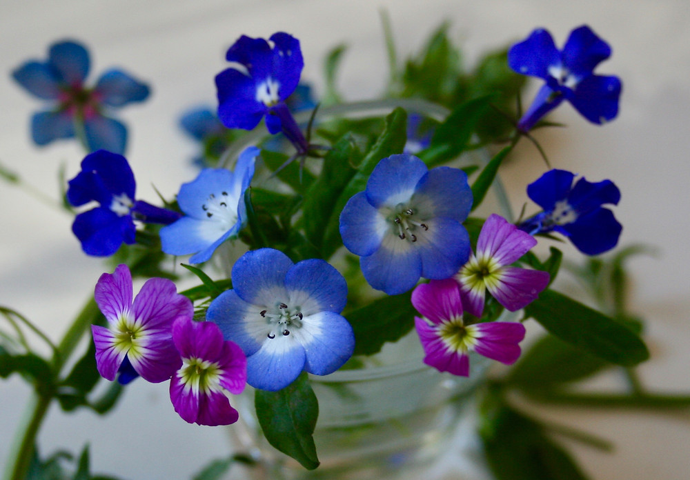 Nemophila and Lobelia for spring flowers