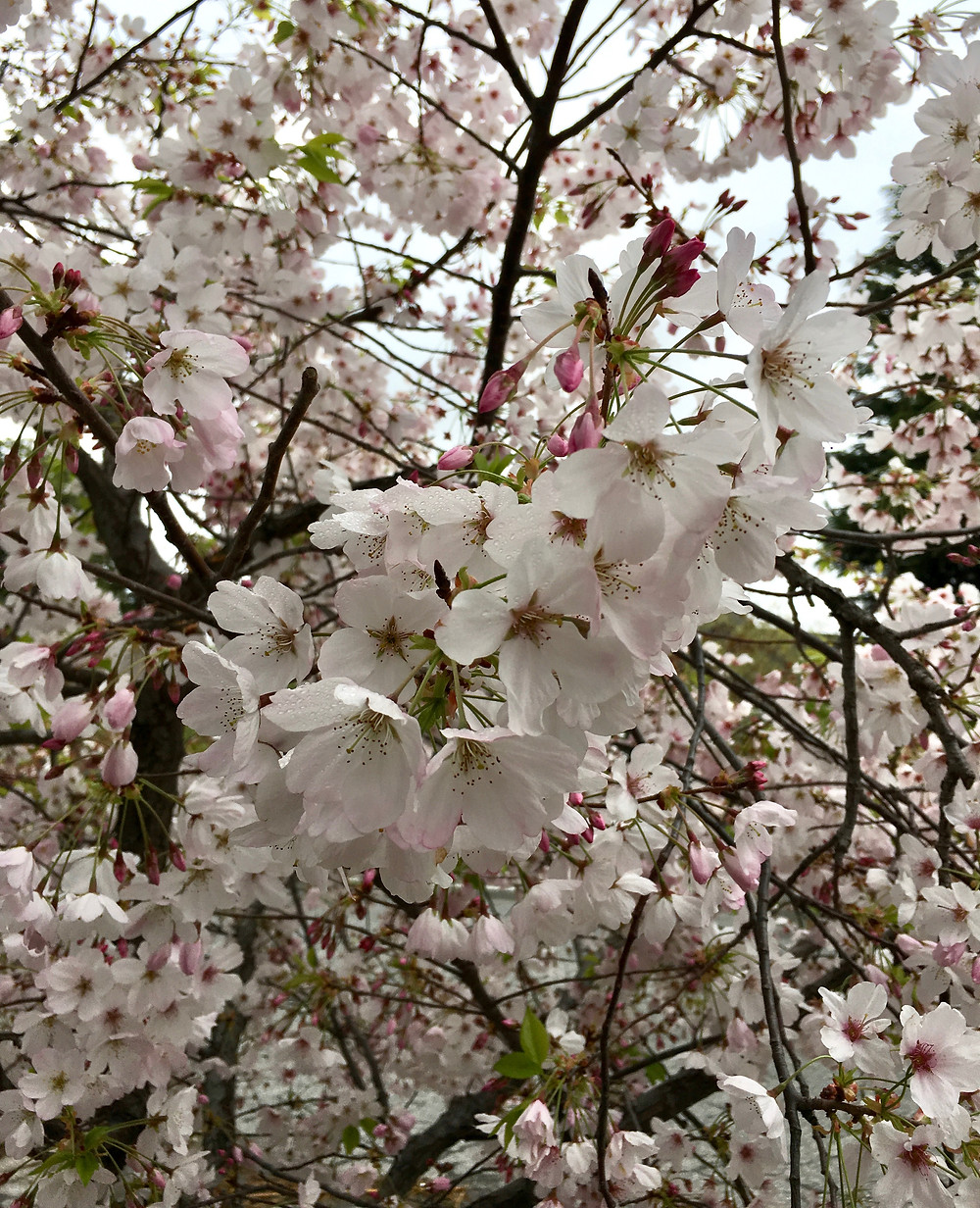 Flowering cherry branches in bloom