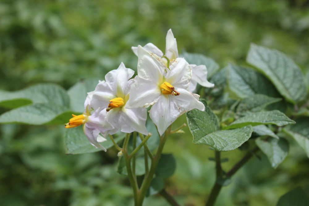 potato plant with flower