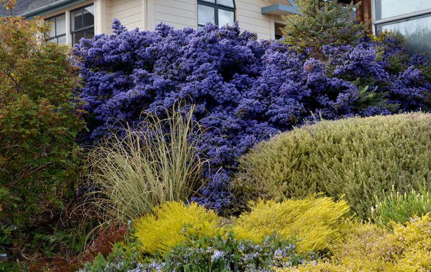 Ceanothus shrub