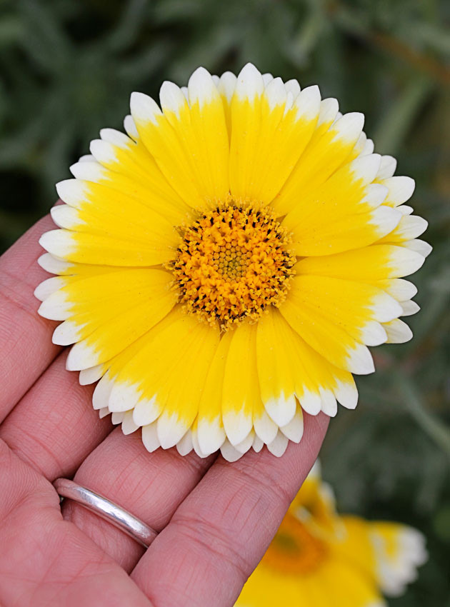 tidy tips Layia flower