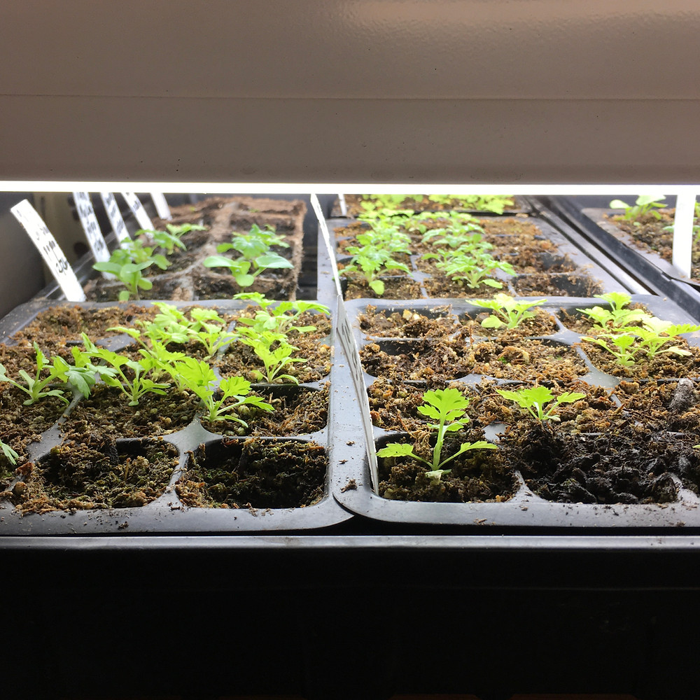 seed trays and seedlings