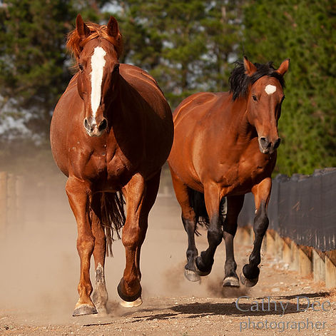 The shiny coats of horses living on a track system