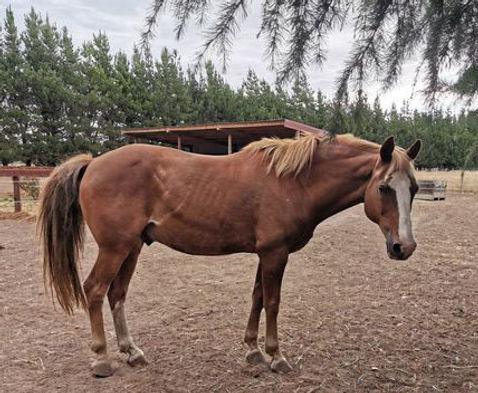 laminitis in a horse