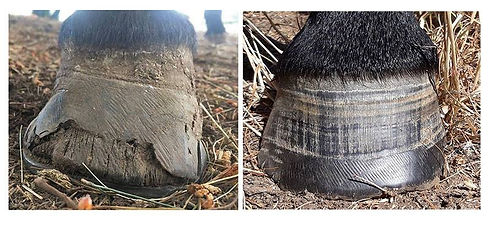 hooves before and after laminitis