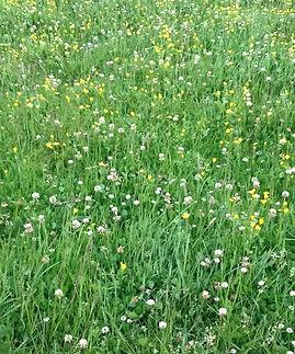 rye/clover pasture