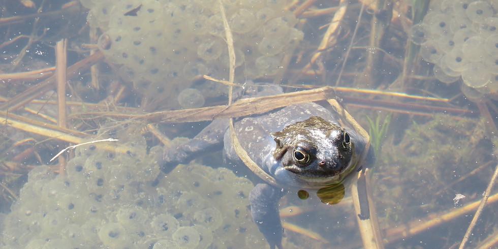 Amphibien-Laichwanderung