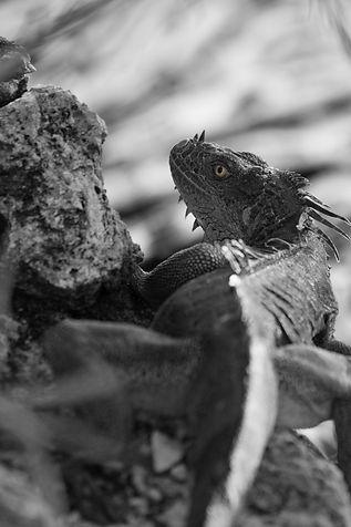 Iguana DCQ-012020.jpg