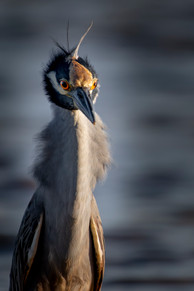 Portrait of a Yellow-crowned Night Heron