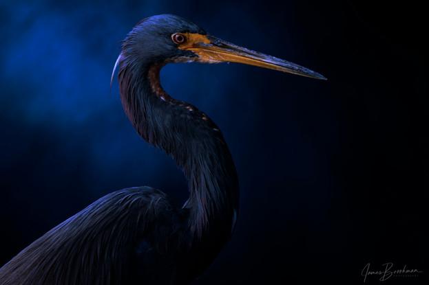 Tricolor Heron Portrait