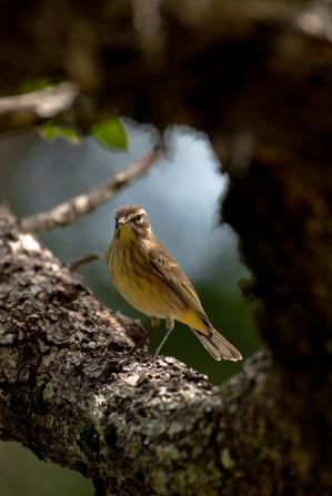 Wood Framed Warbler