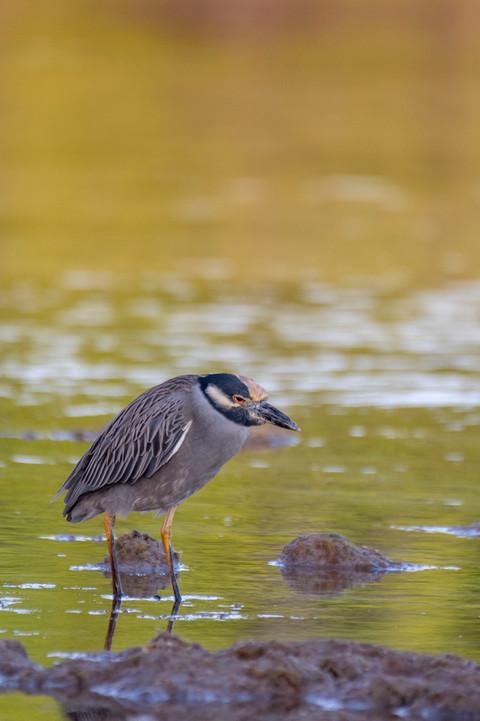 Disgruntled Yellow-crowned Night Heron