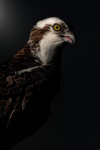 Portrait of an Osprey