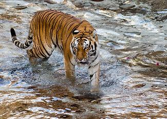 Tiger BG-120819.jpg