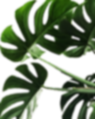 sccpre.cat-monstera-png-1901895 (2).png