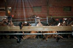 Chèvres laitières 36