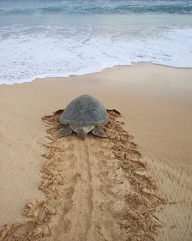 green-turtle-on-beach-ascension-island-2