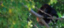 Bedandbreakfast-tamarindo-mono-monkey-Bo
