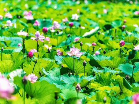 高田公園の蓮祭りがはじまりました。