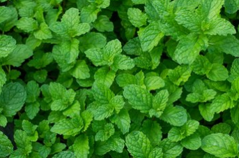 Peppermint Leaf - Mentha piperita