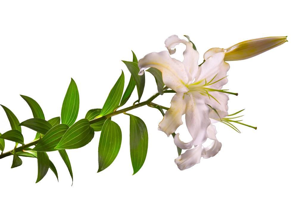 Lírio Mimoso.tif.jpg