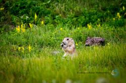 Prairie Dog-1