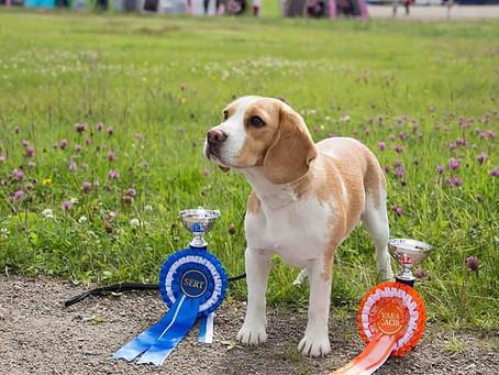Beaglen kouluttamista, osa 1: Epäonnistumista näyttelyissä
