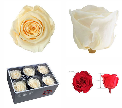 6 ROSES CHAMPAGNE STANDARD STABILIS