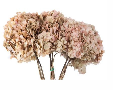 HORTENSIA BICOLOR 3/4 TIGES CREME/NATUREL