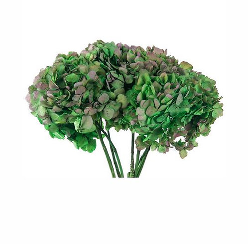 HORTENSIA BICOLOR 3/4 TIGES VERT/NATUREL/ROSE