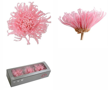 3 Chrysanthèmes ROSE PASTEL 5-8CM