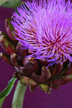 Artichokeflowers
