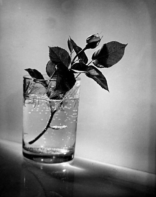Photo by Josef Sudek, Bud of a white rose, 1954