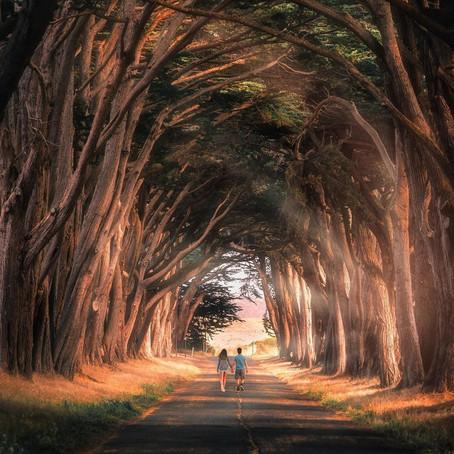 [여행지/캘리포니아 Inverness/자연] Cypress Tree Tunnel
