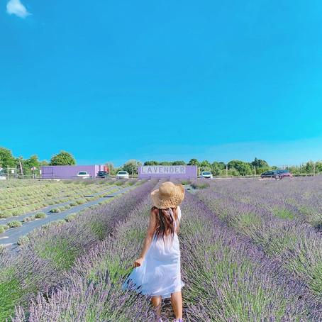 [여행지/오레곤 Portland/라벤더농장] Lavender Valley Farm