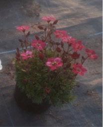 saxifrage rouge.jpg
