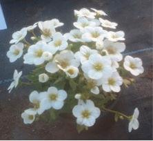 saxifrage blanc.jpg