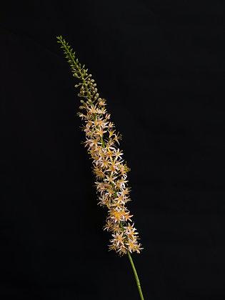 Eremurus perzik