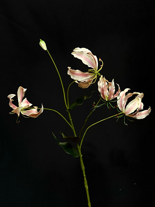 Gloriosa licht roze